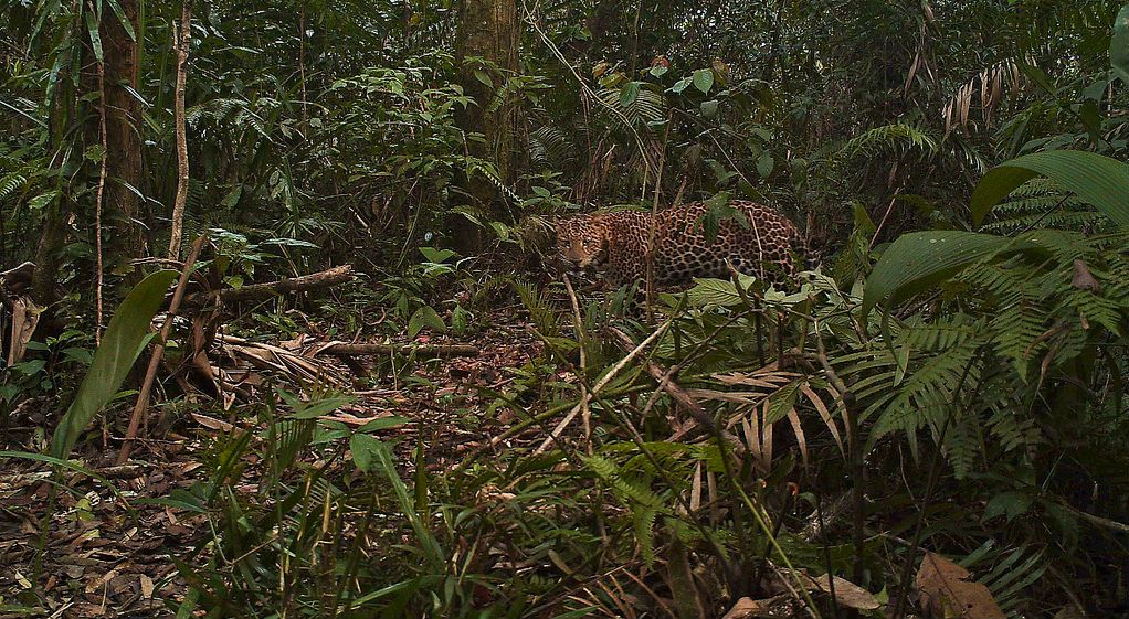 A Javan leopard caught on a camera trap in Gunung Halimun-Salak National Park, West Java, Indonesia.  Credit: Center for International Forestry Research (CIFOR)
