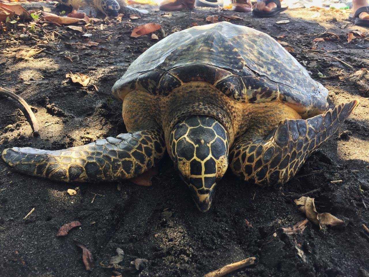 Release of the critically endangered red list species; the Hawksbill Sea Turtle (Eretmochelys imbricata)