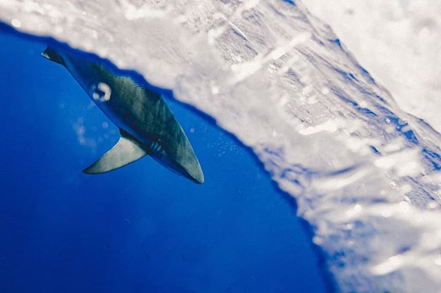 "While we can marvel at marinelife photos today, the reality below the surface is that a one-sided war is raging.  From destructive fishing practices, unsustainable exploration of marine life, climate change and pollution. Humans are driving extinction in the oceans.  It's depressing we know. But the good news is we have the solutions. Conservation strategies work with political and personal will, proper financing, tools, education and support. Together we can do this. And as early-career conservationsts taking on this task, we should demand more. ""I think it is our job to bring a lack of complacency and urgency to the table, to raise our voices and be the boots on the ground daring to go to remote places to impliment conservation strategies"" callie Veelenturf - Y4WC Ambassador.  #staywild #worldoceansday  #marinelife #MarineSpecies #climatechange #ExtinctionRebellion #fridaysforfuture #plasticfree #EndWildlifeTrafficking #endangeredspecies #sharks #sharkfin #IamY4WC"