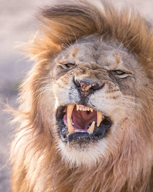 Why be a house cat when you can be a lion.... Except don't pet lion cubs and buy into the fake eco-volunteering that fuels canned hunting and supplies the lion bone trade.  Apart from that sad fact have a wild #internationalcatday  #staywild #EndWildlifeTrafficking . . . #lionking #lion #bigcatsunderthreat #bigcats