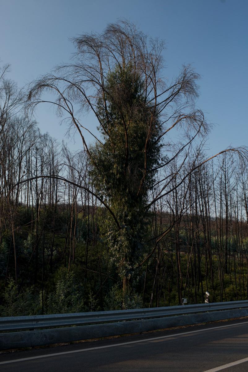 A nova vegetação pode ser vista crescendo em cima do que pegou fogo, em Pedrógão Grande, Portugal. Setembro 2018. © Lucas Landau