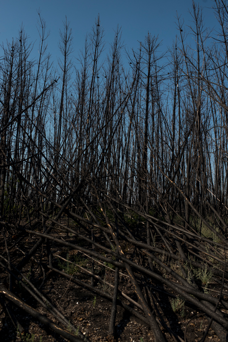 Troncos queimados de pinheiros e eucaliptos, em Pedrógão Grande, Portugal. Setembro 2018. © Lucas Landau