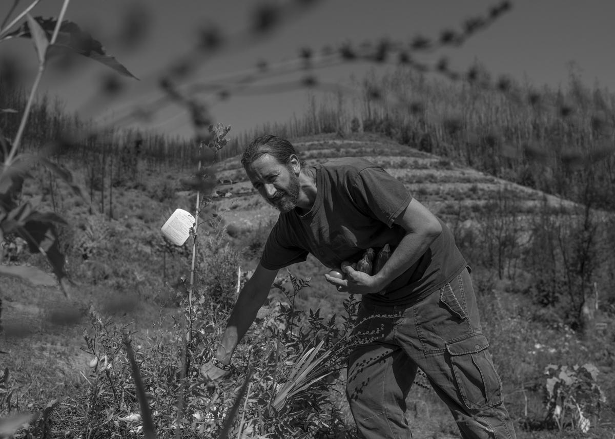 """Miguel colhe tomates e pepinos; ao fundo outra parte do """"laboratório"""" onde testa a permacultura. Pedrógão Grande, Portugal. Setembro 2018. ©  Lucas Landau"""