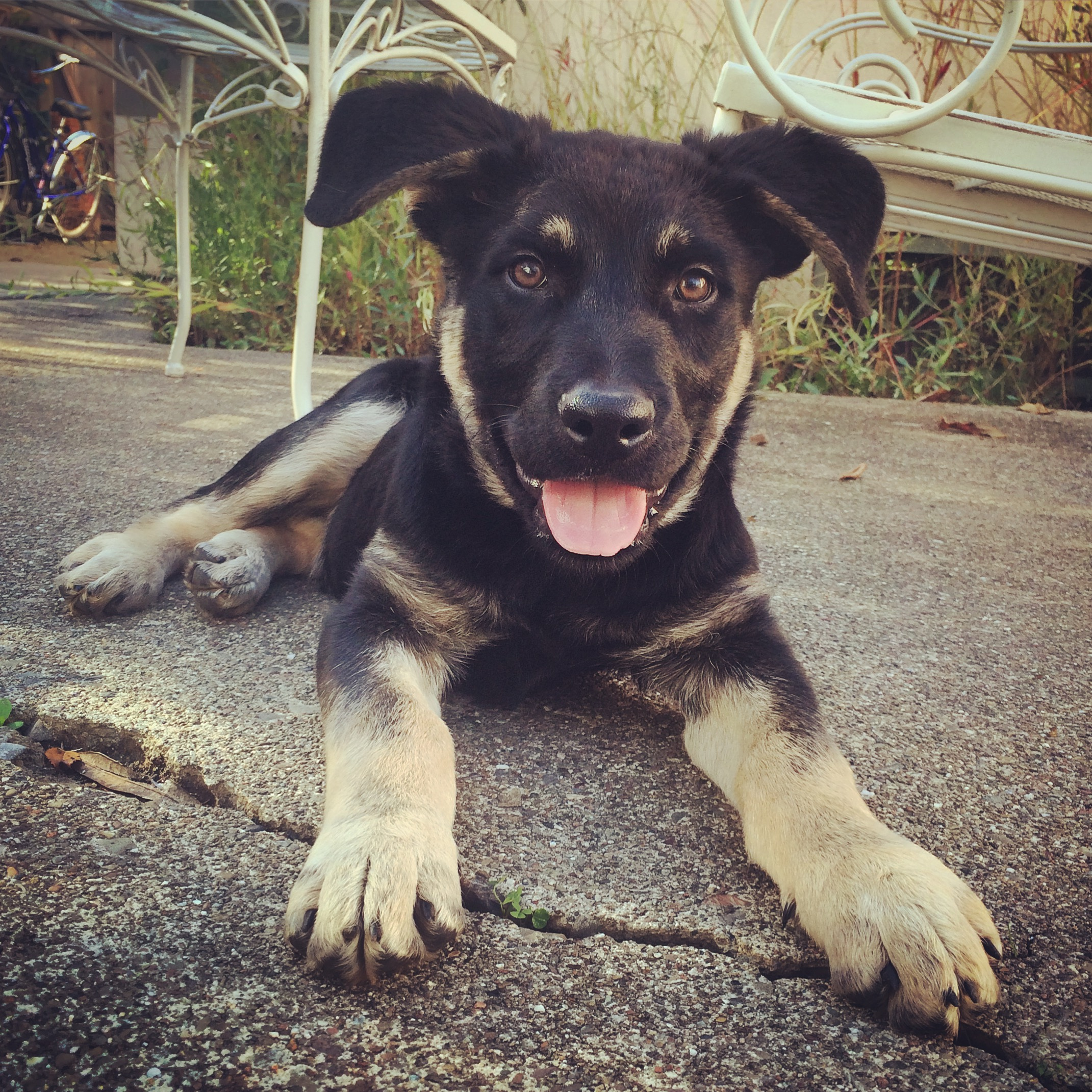 Felix is a super smart and playful puppy available for adoption through WCAL