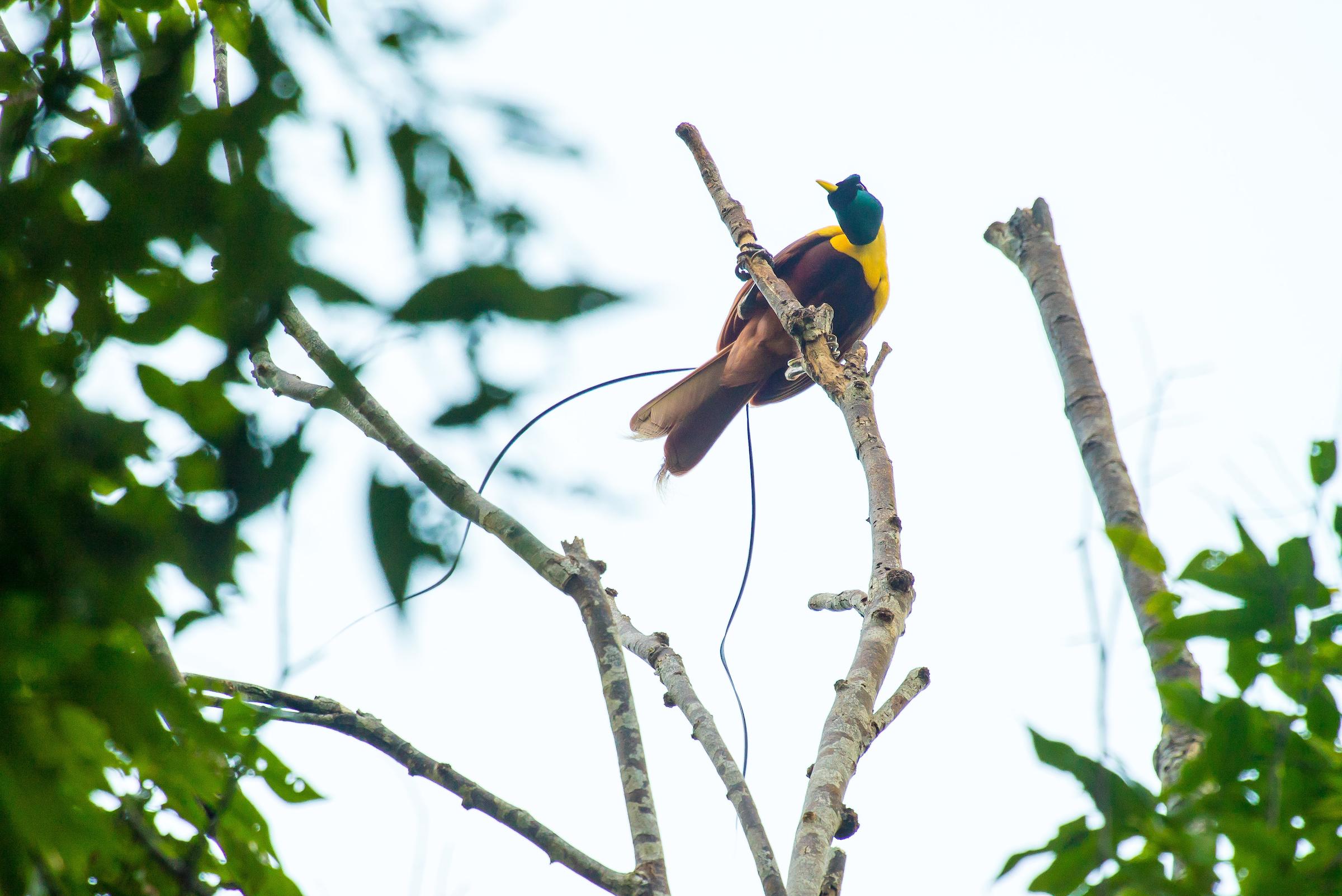Raja Ampat Bird of Paradise   Indonesia Tourism