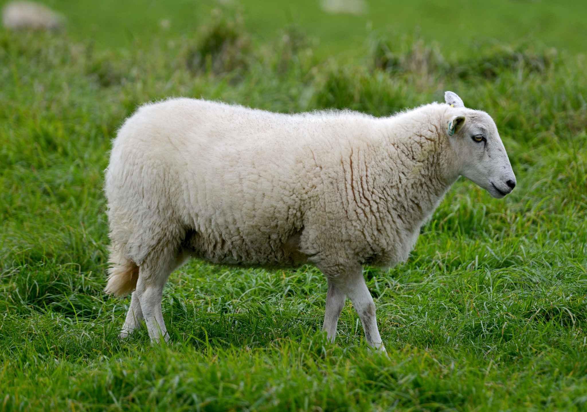 2048x1536-fit_moutons-place-tondeuses-vignes-alsace-illustration.jpg