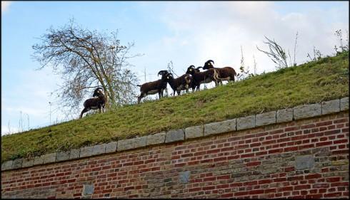 Moutons-de-Soay-Citadelle-de-Lille.jpg