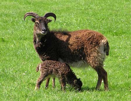 labergeriedines.com brebis et agneau de race soay.jpg