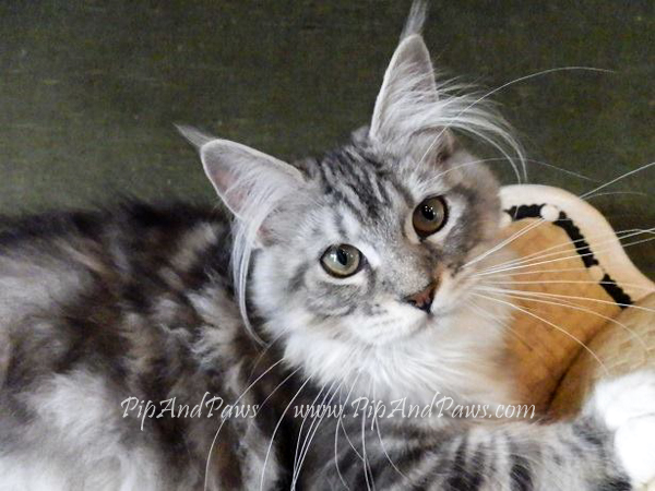 SOLD - Silver Maine Coon Female. WOW!