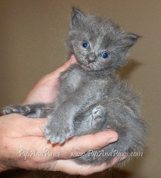SOLD - Solid Blue Maine Coon Male