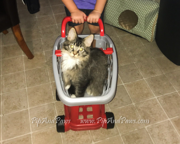 SOLD - Ticked Tabby Maine Coon. Very wild looking in person, super sweet!