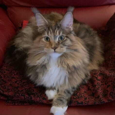 Maine Coon Kittens For Sale Pip And Paws