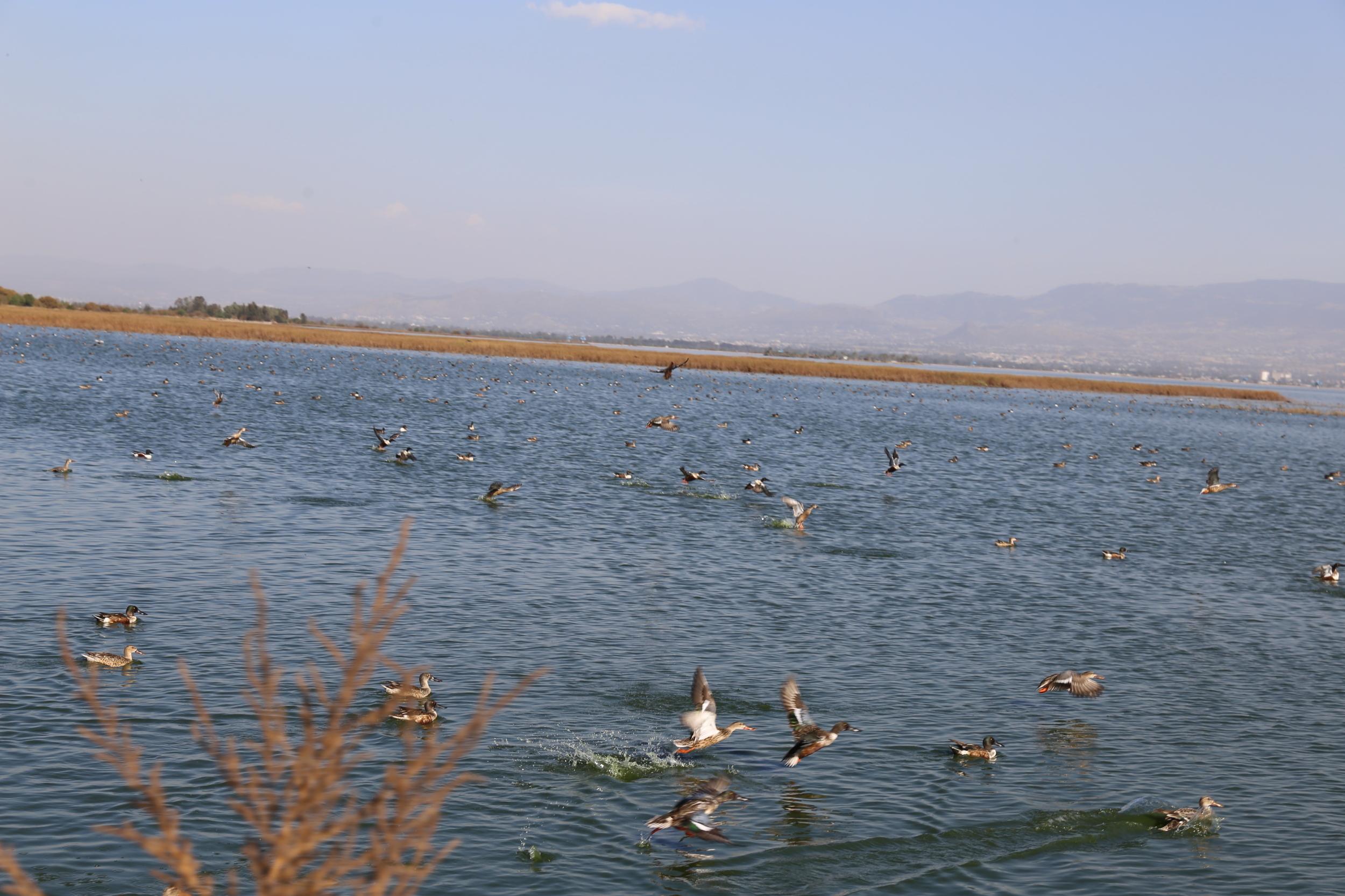 NABOR CARRILLO migración patos canadienses.JPG