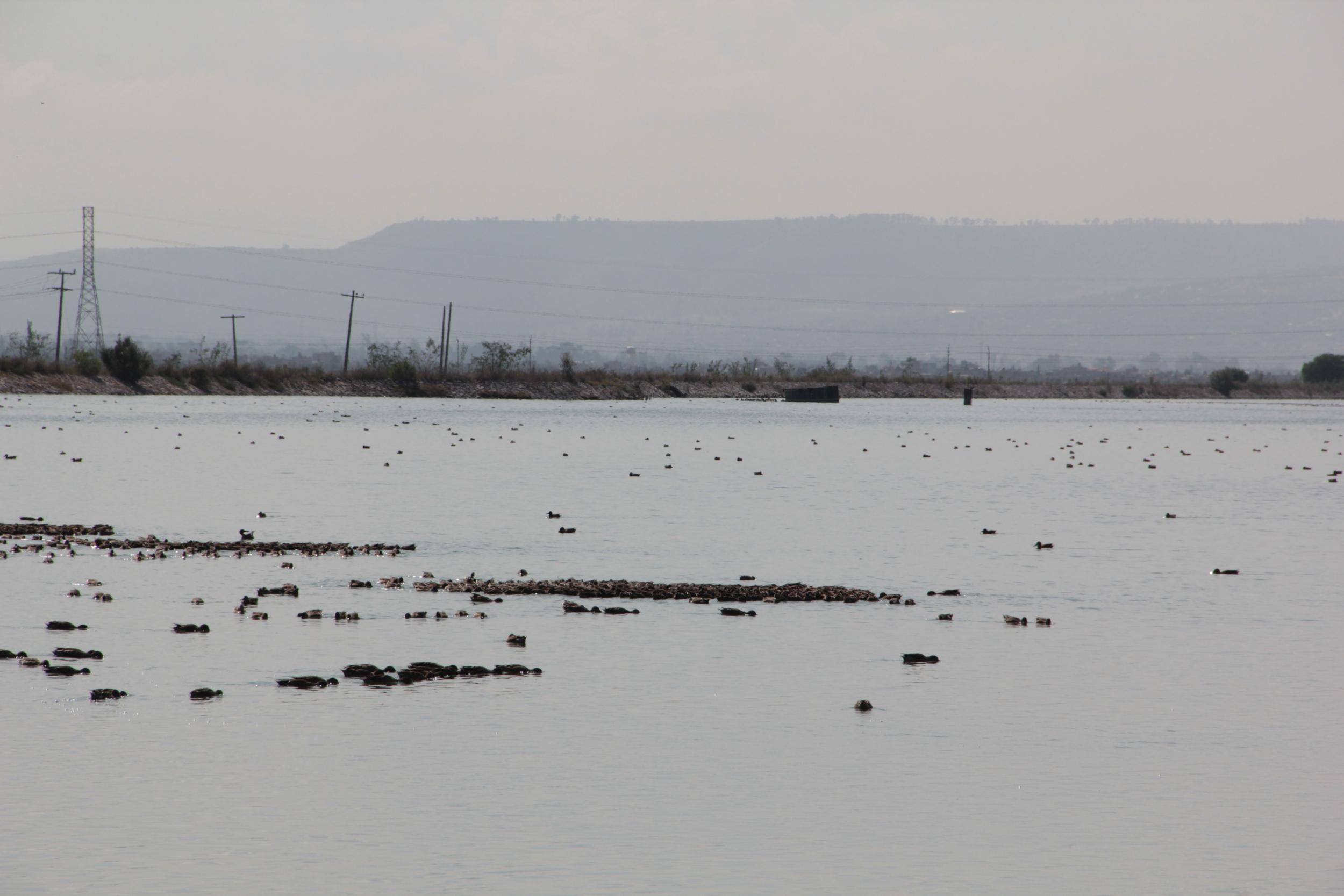 NABOR CARRILLO migración patos norte de México.JPG