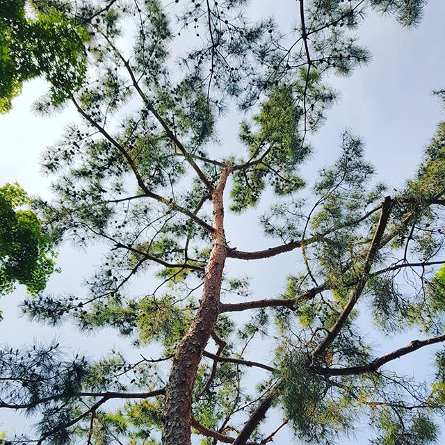 #lookingup #pinetrees #pinetree #pine #pines #seoul