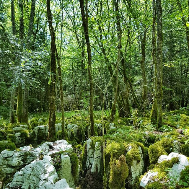Beautiful forests in #Besain, where the #limestone rock has eroded to leave behind moss-covered lumps and all sorts of cracks,  crevices,  caves and gorges. #karst #karstic #sentierkarstique #boisdebesain #jura #forest #bois #green #moss