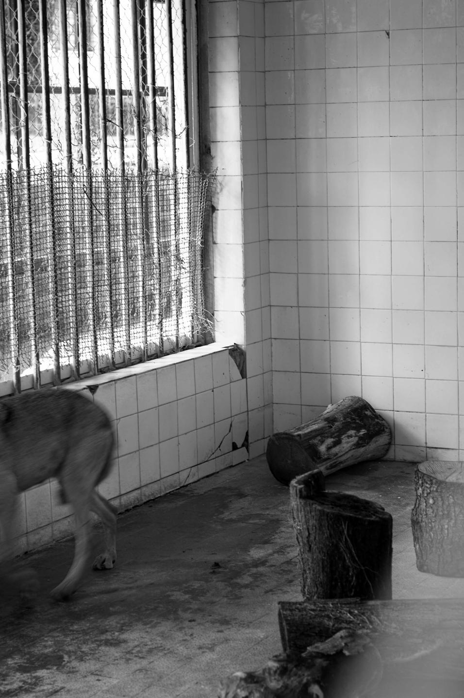 Captive wolf, Tirana Zoological Park, Tirana, Albania.