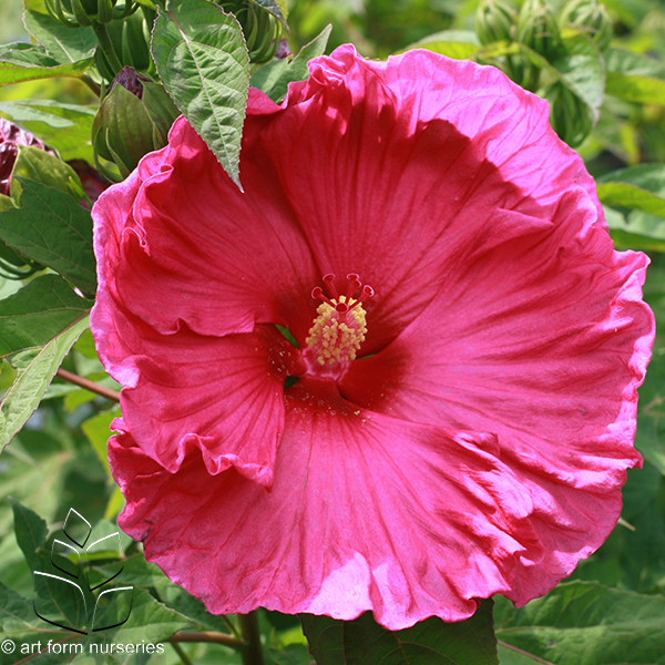 """Hibiscus 'Jazzberry Jam' - Size: 48"""" tall x 46"""" wideBloom: Summer - Early Fall"""