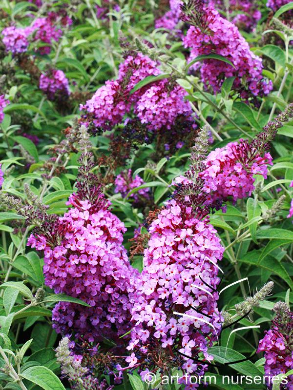 Buddleia 'Buzz Purple'