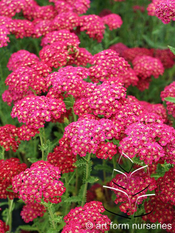 WEBAchilleaPomegranate.jpg