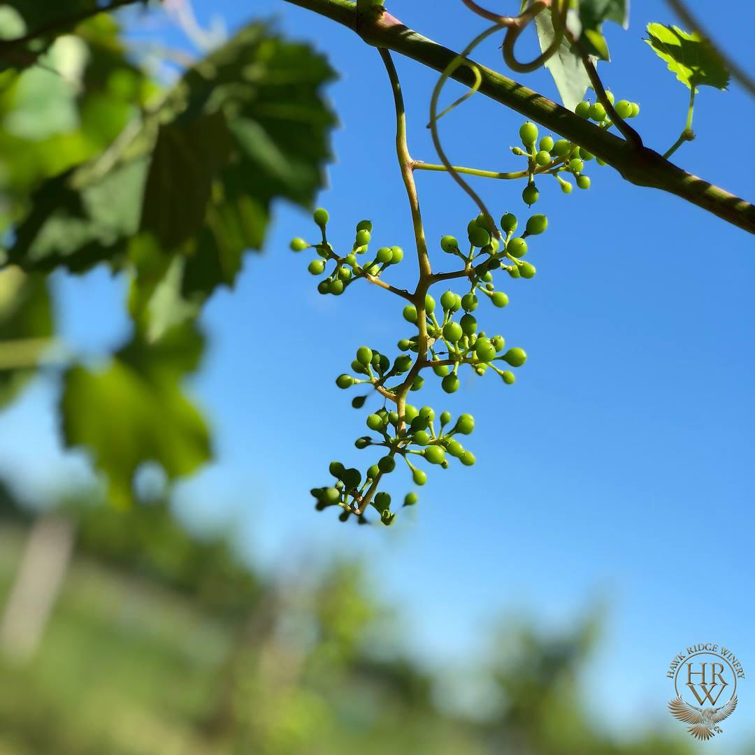 vines1.jpg
