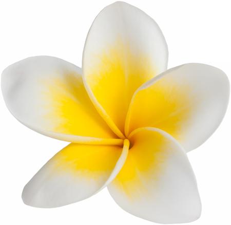 plumeria-white-yellow-516216677.png