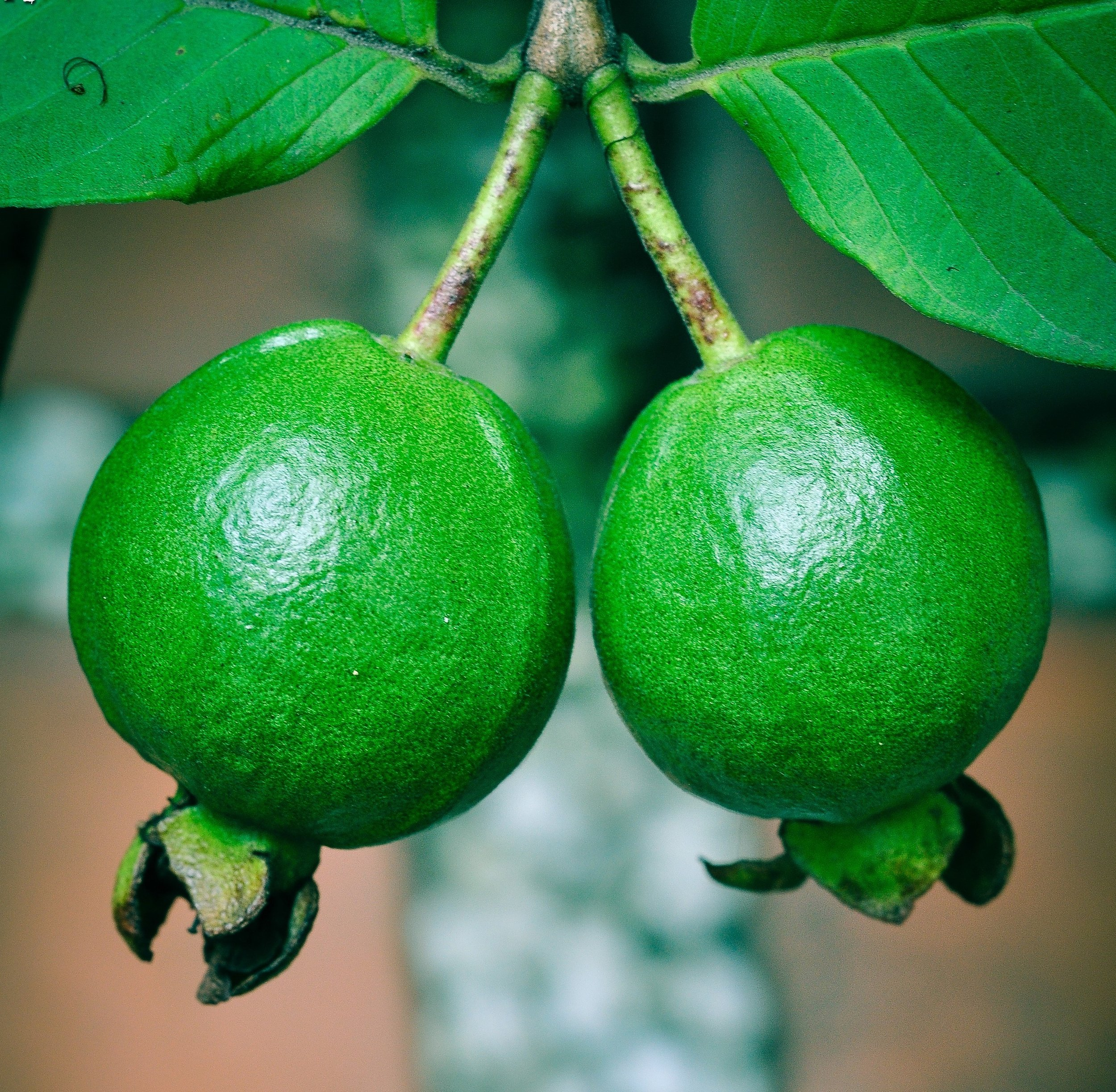 The common guava plant, scientific name  p  sidium guajava,  has similarly air-purifying effects.