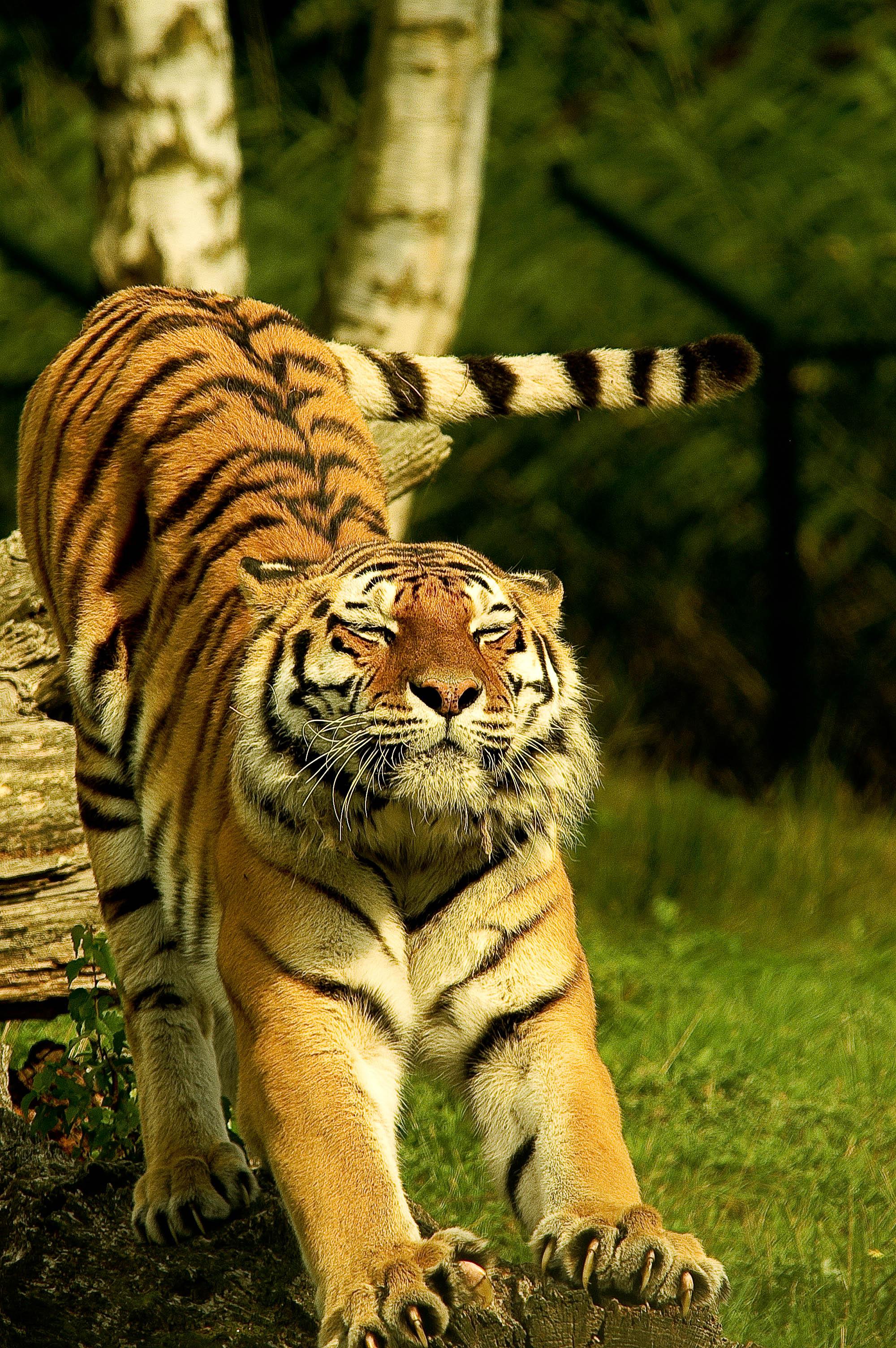 tiger-cat-stretch.jpeg