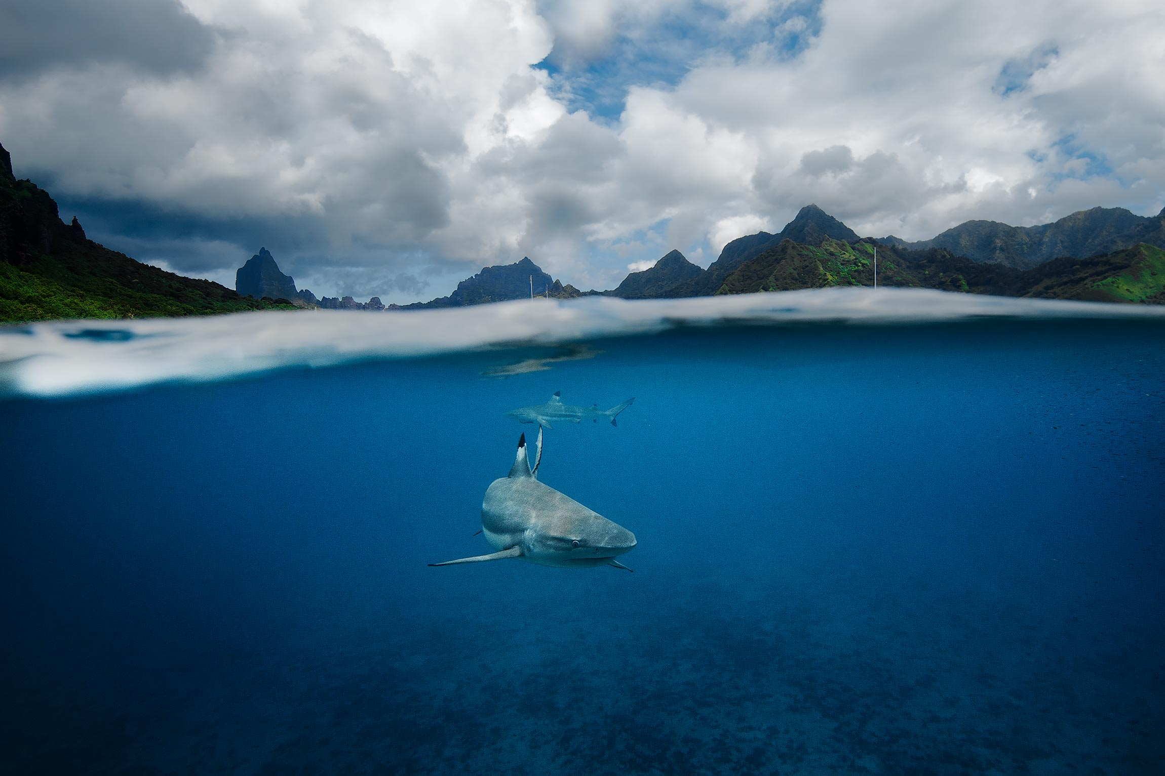 Sharks in Cook Bay, Mo'orea
