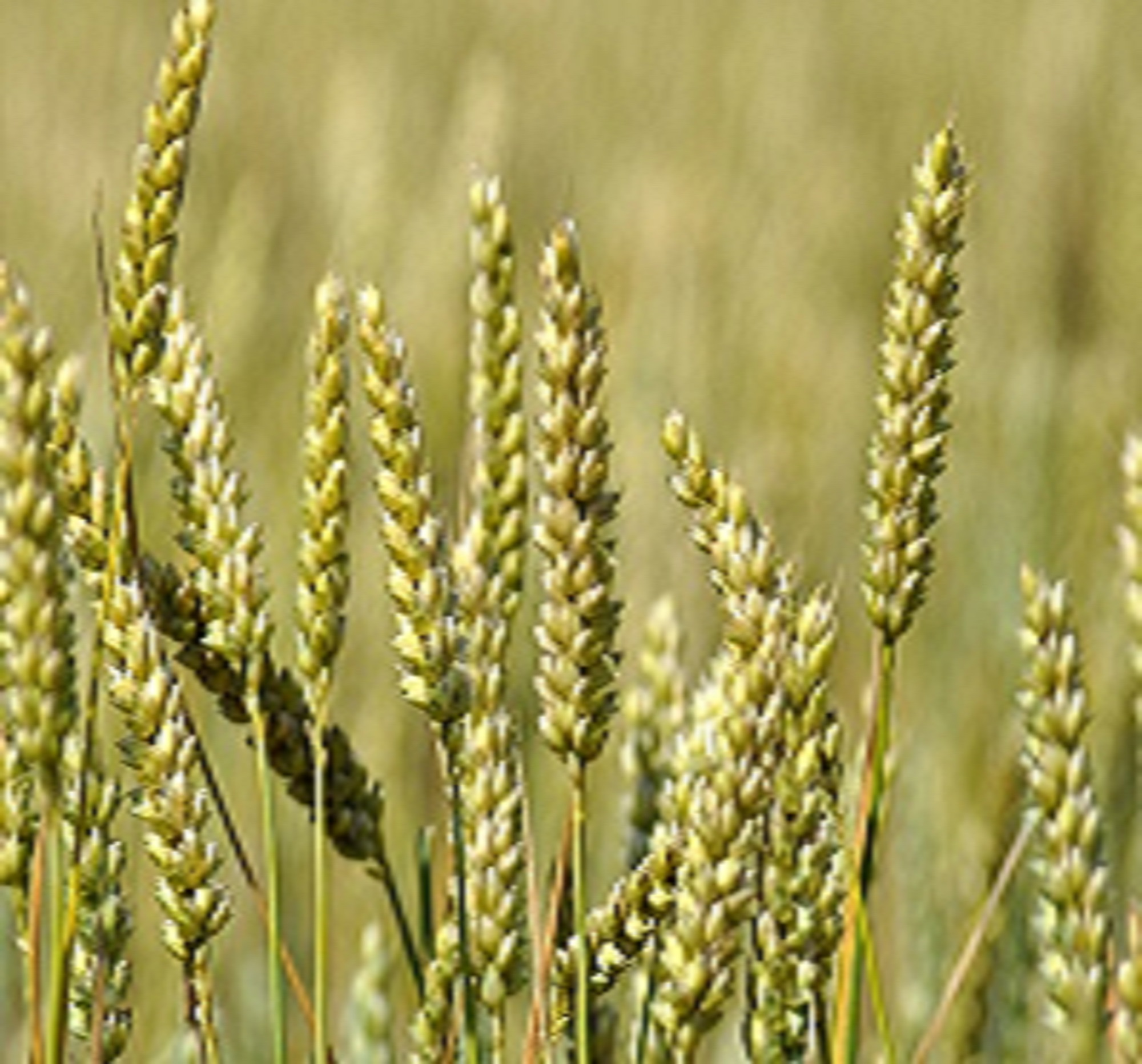 Applied Bio-minerals - ABM - Bio Active Farming - Wheat.jpg