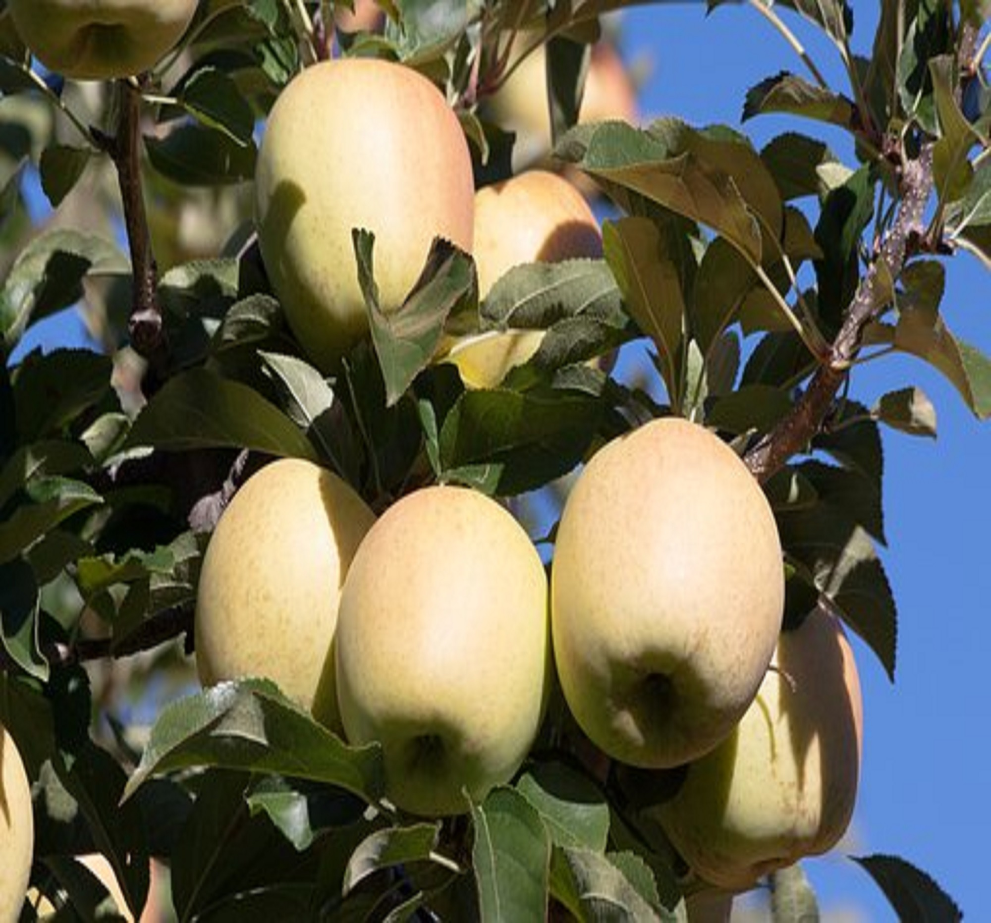 Applied Bio-minerals - ABM - Bio Active Farming - Apples.jpg