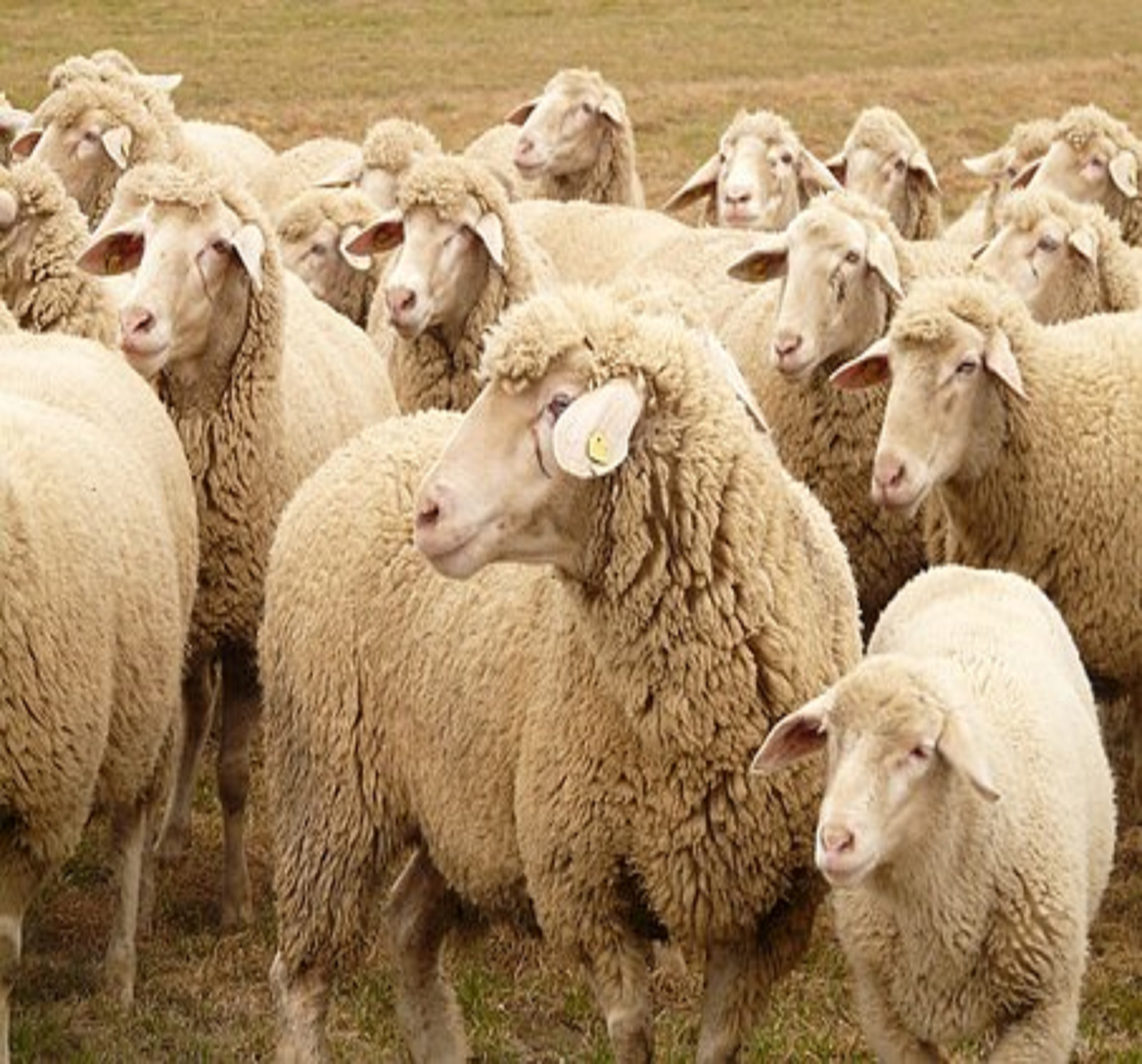 Applied Bio-minerals - ABM - Sustainable Farming - Sheep.jpg