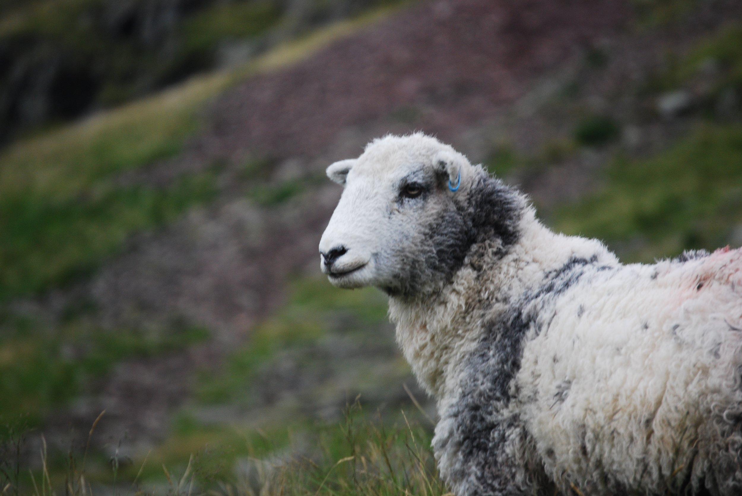 sheep-white-lambs-goats-59863.jpeg