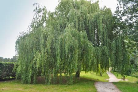 babylon-willow.jpg