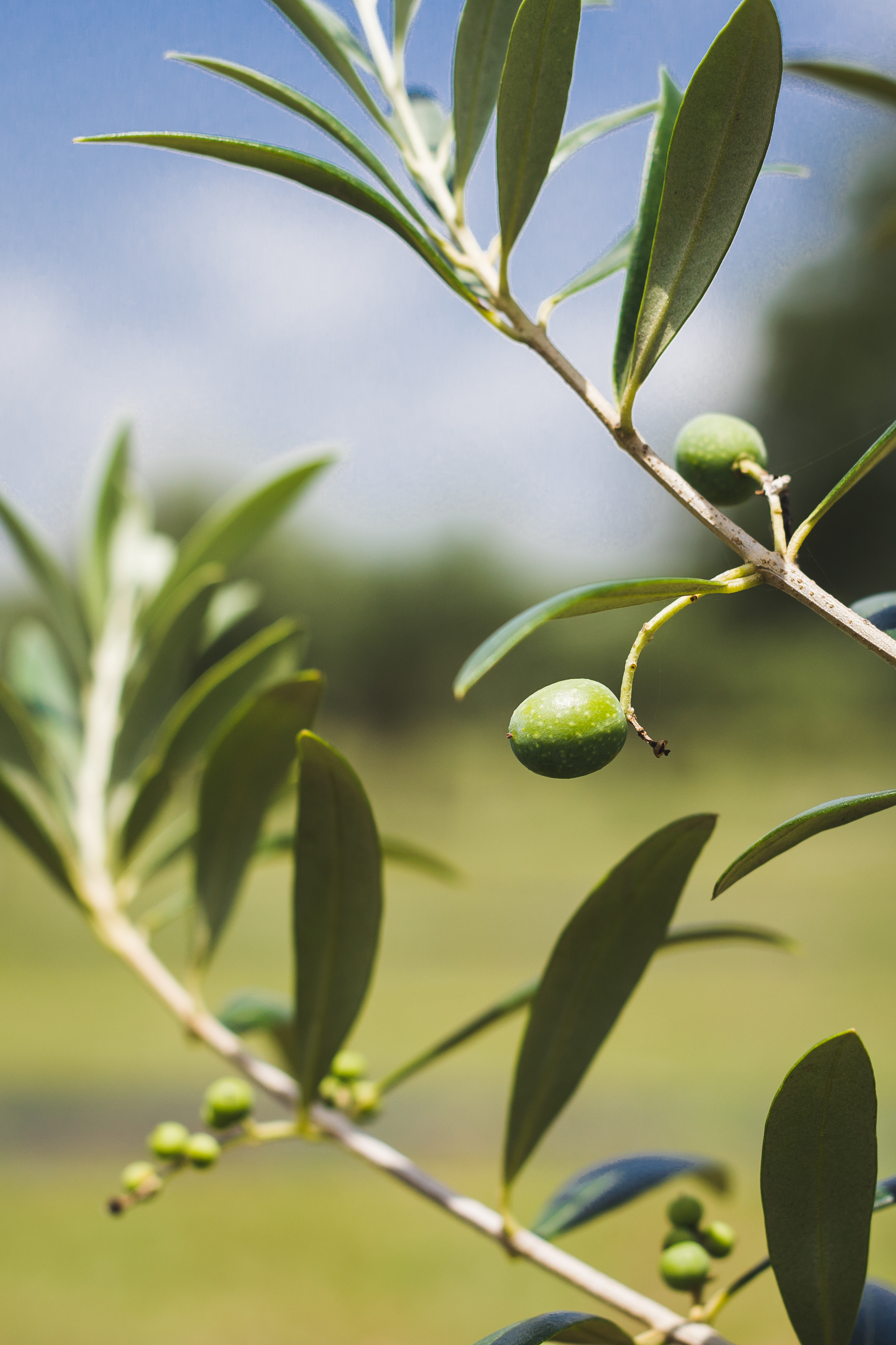 TX Hill Country Olive Co Summer 2019-13.jpg