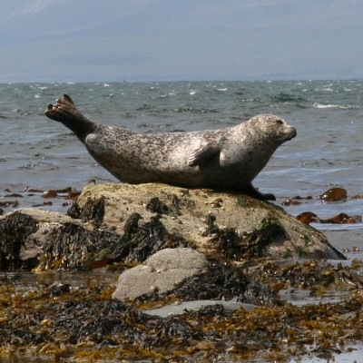Seal_at_Duncraigaig