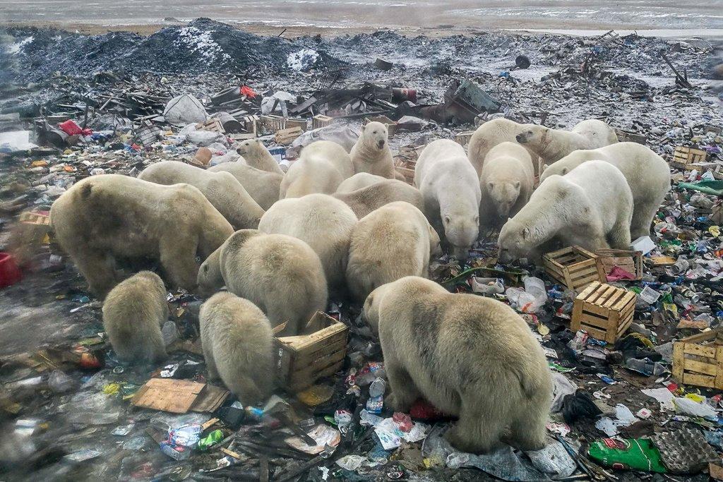 Foto: Alexander Grir. Põhja-Venemaal Novaja Zemlja elupaikade kaotuse tõttu inimasulasse söögipoolise järgi tulnud jääkarud.