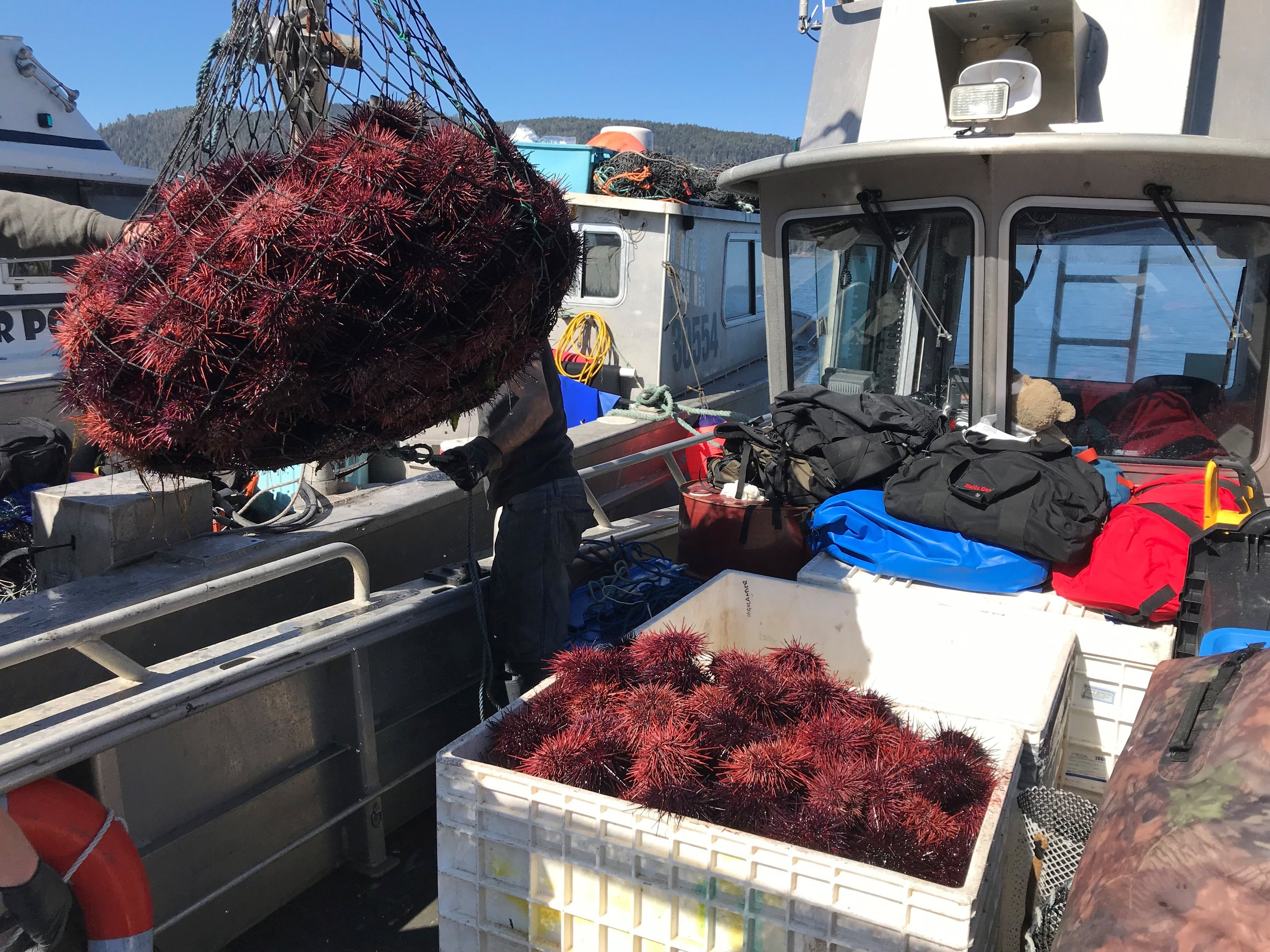 Proudly participating in the Gwaii Haanas Kelp Forest Rehabilitation Project by transporting harvested fresh Guuding.ngaay (Sea Urchin) back to town for distribution among the community.