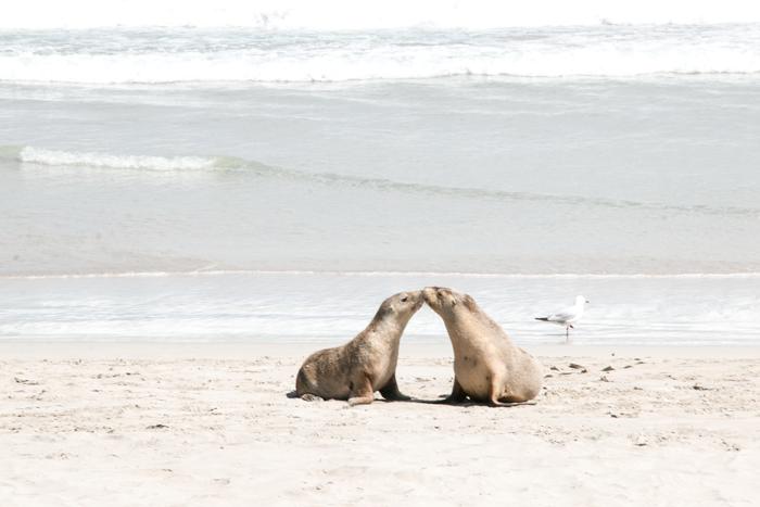 Meeting Australian fur seals
