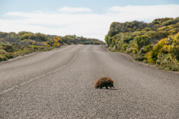 Echidna crossing all day every day