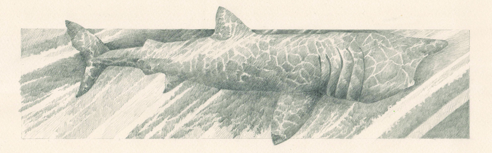 'Basking Shark' for Birds, Beast and Flowers