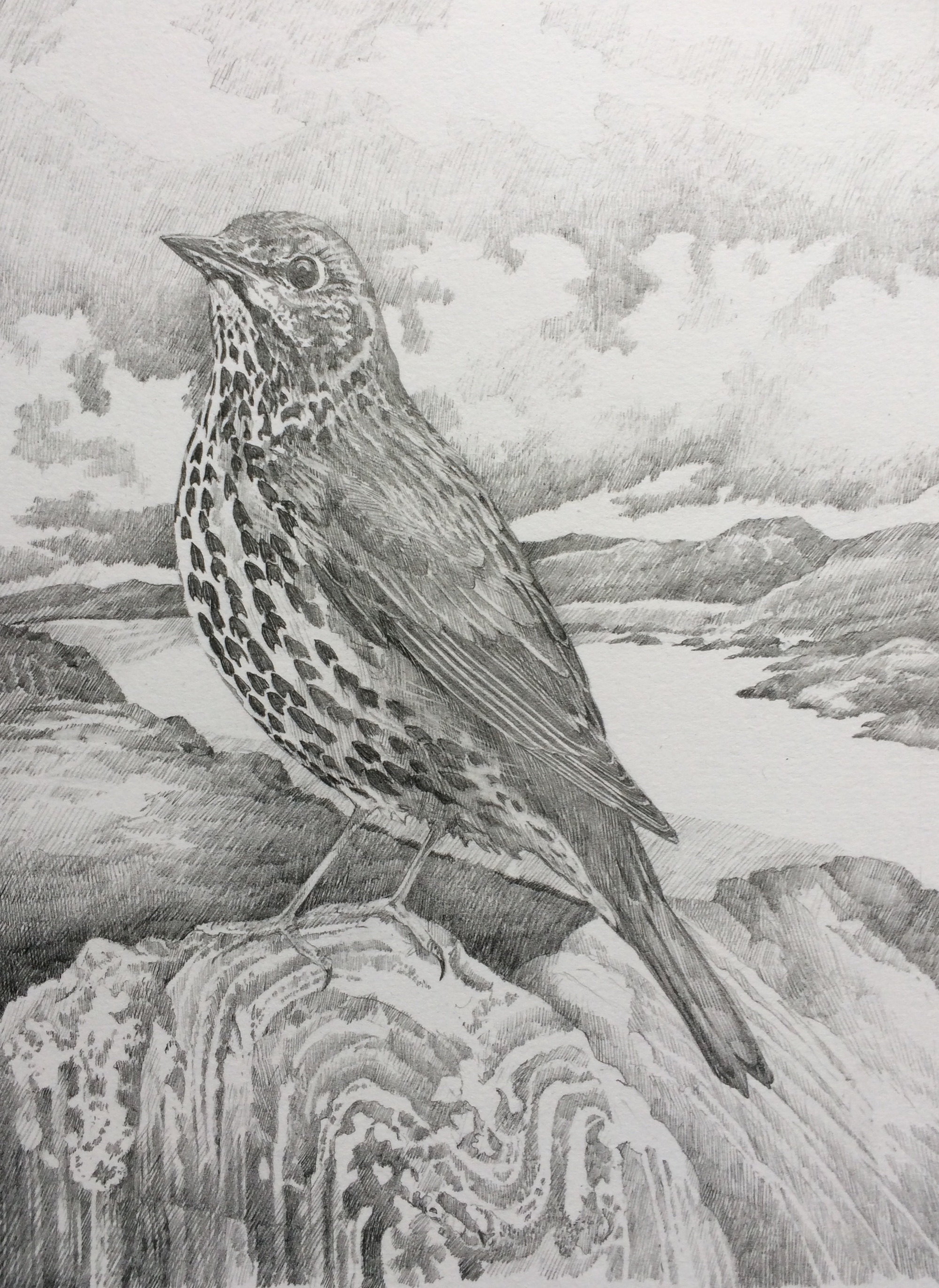 'Hebridean' Thrush  - study from Carinish, North Uist