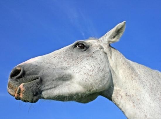 Grey horse tight chin