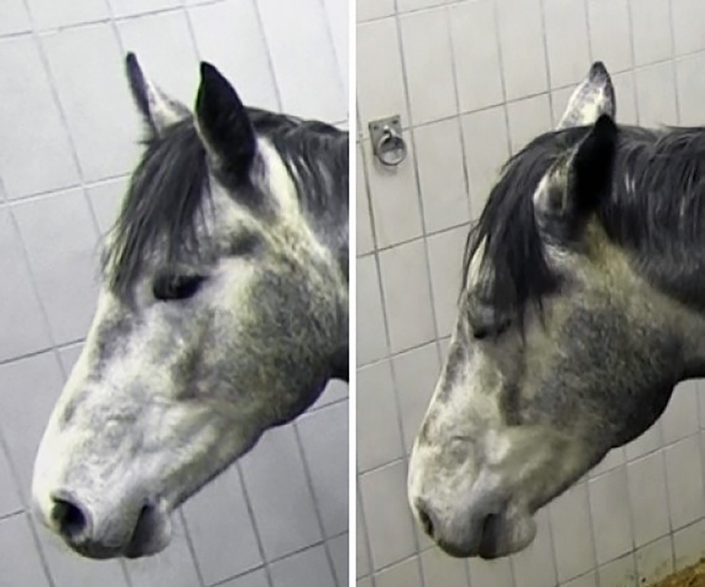 Left: the horse before surgery Right: 8 hours after surgery  Photo © Copyright The AWIN project