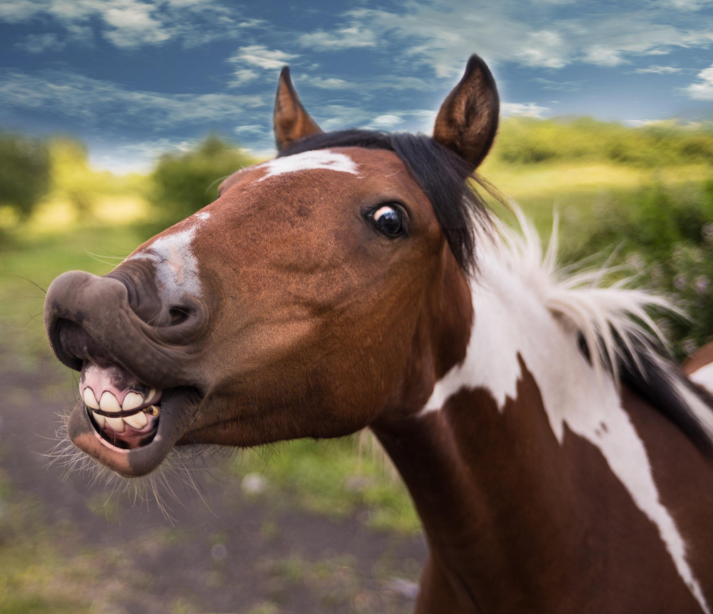 Horse performing Flehmen response