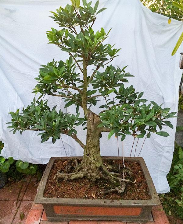 gallery_bonsai1.jpg