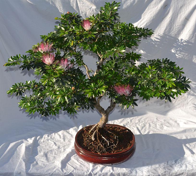 gallery_bonsai2.jpg