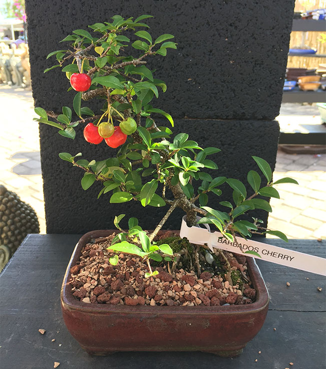 gallery_bonsai7.jpg