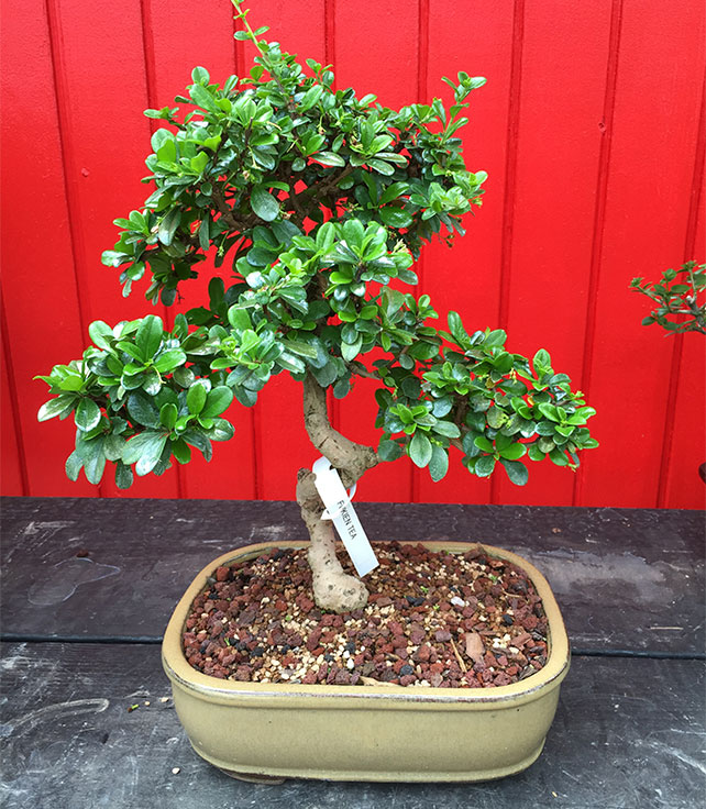 gallery_bonsai13.jpg