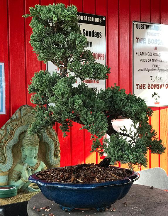 gallery_bonsai15.jpg